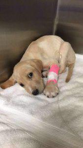 Cachorra ingresada con parvovirus
