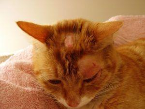 La enfermedad de la Tiña en gatos