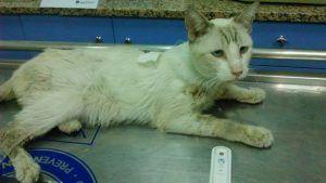 La Inmunodeficiencia felina