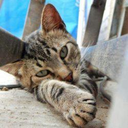 La Inmunodeficiencia felina (VIF)