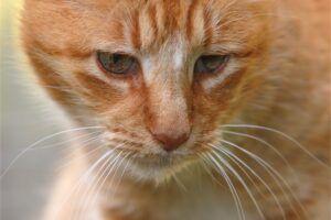 inmunodeficiencia felina FIV