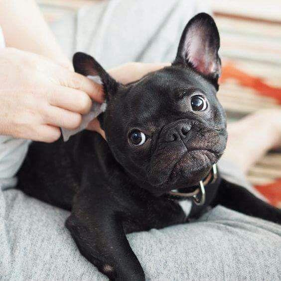 otitis canina