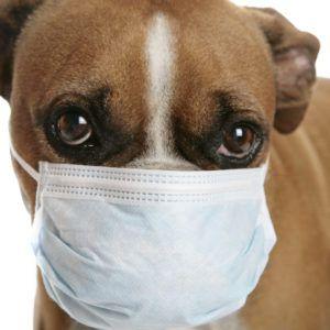 coronavirus perro