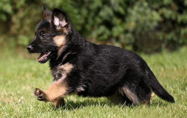 Condoprotectores en perros cachorro pastor aleman