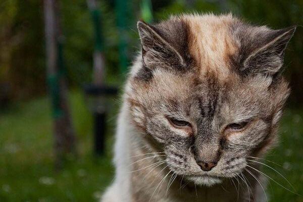 Enfermedades comunes en gatos mayores