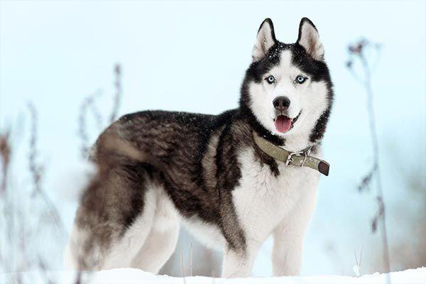Los animales más bellos del mundo - 5 el husky siberiano