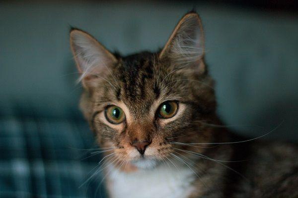 Peritonitis infecciosa en gatos