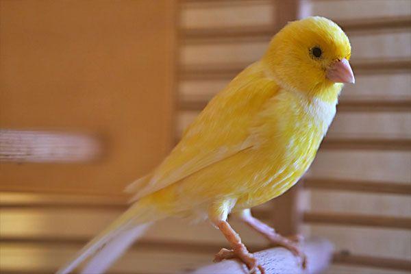 canario como mascota