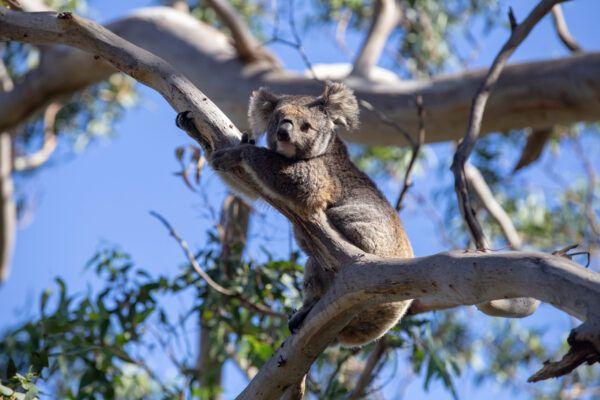 Curiosidades sobre koalas