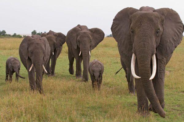 Datos curiosos de los elefantes