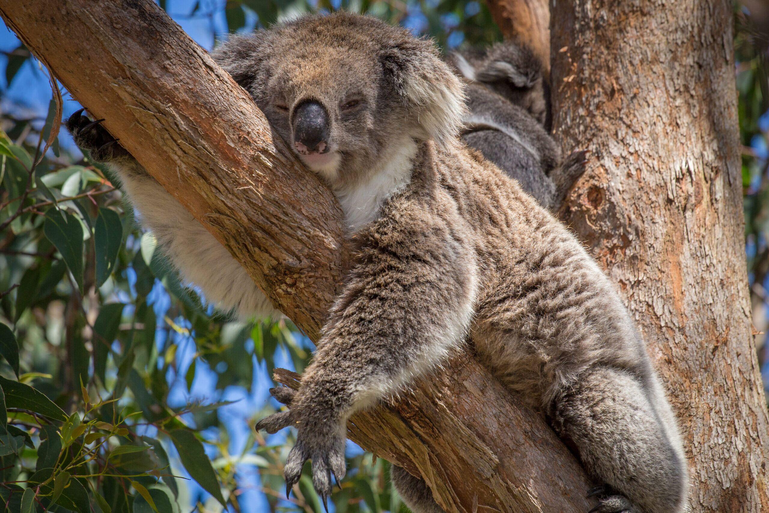 Datos curiosos del Koala
