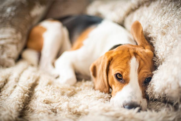 ataques epilépticos en perros
