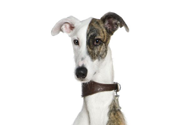 Galgo perro hipoalergénico
