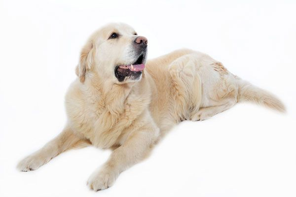 hipertiroidismo canino