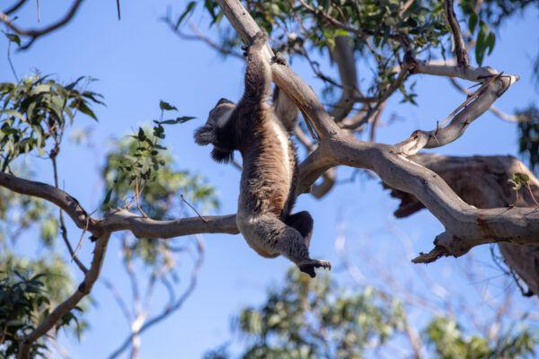 Koala australiano