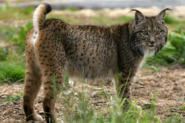 Los 10 animales mas bonitos del mundo - 6 El lince ibérico