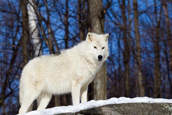 los animales mas bonitos del planeta - 10 El lobo ártico