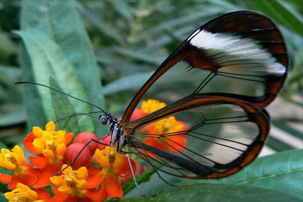 Los animales mas bellos del mundo - 2 Mariposa de cristal