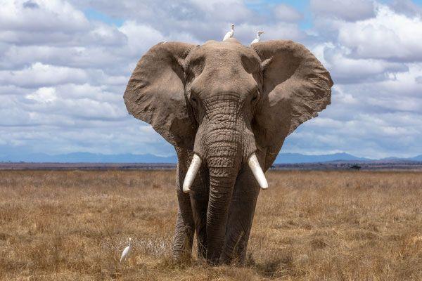 Orejas elefante mapa África
