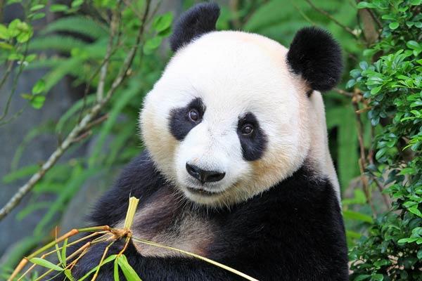 Los animales mas bonitos del mundo - 8 El Oso Panda