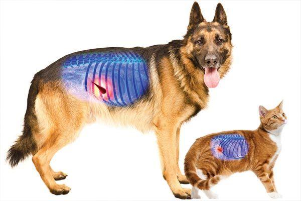 pancreatitis en perros y gatos