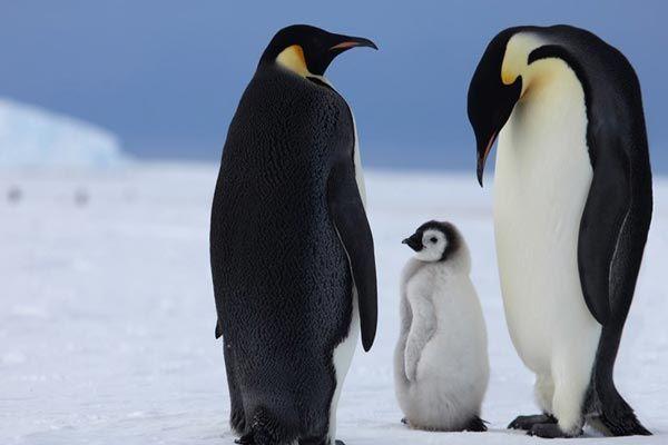 el pingüino mas bonito del mundo - 9 El pingüino emperador