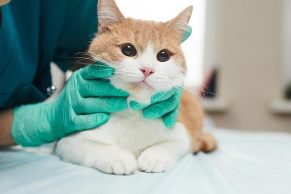 pruebas dermatitis miliar en gatos