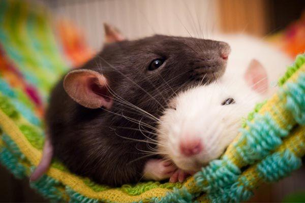 ratas como mascota