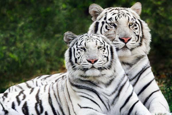 Los animales mas bonitos del mundo - 3 El tigre de bengala blanco