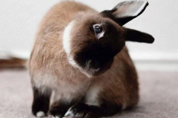 encephalitozoon cuniculi en conejos