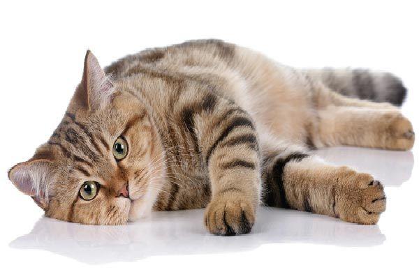 como saber si mi gato tiene sobrepeso