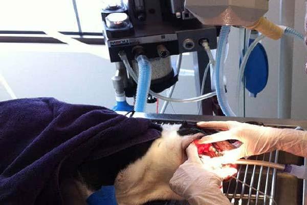 cirugia tumores en la cavidad oral de los perros