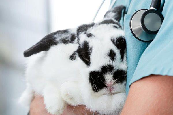 conejo en veterinario