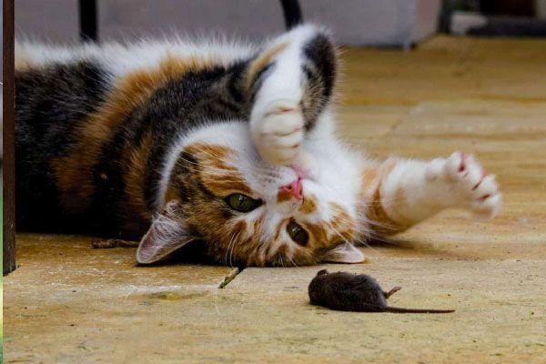 mi gato juega con raton muerto