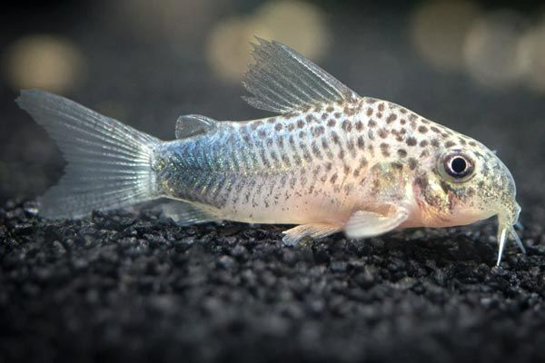 corydoras peces para principiantes