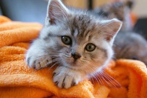¿por qué amasan los gatos?