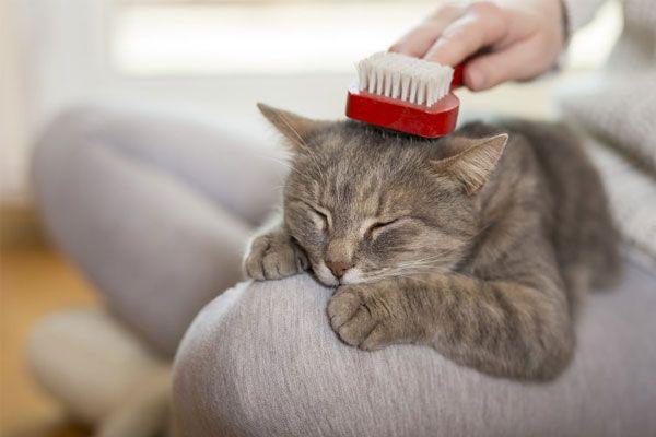 como cepillar a mi gato