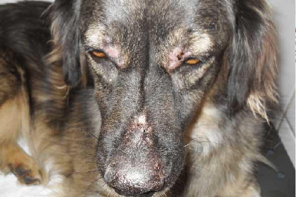 leishmaniosis cutánea canina