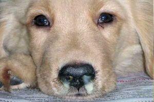cachorro con moquillo canino
