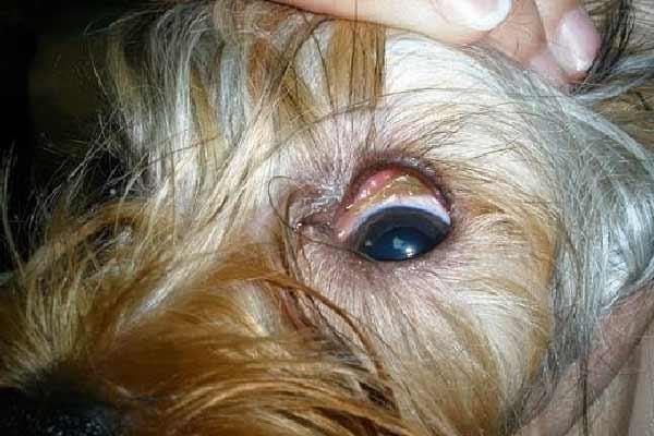 espiga en ojo de perro