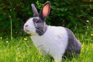 ventajas de esterilizar a un conejo