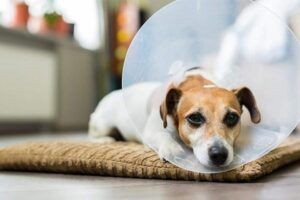 Perro con collar isabelino o campana