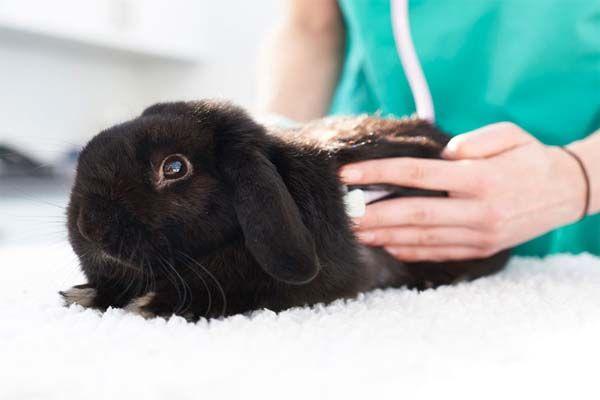 muda de pelo de un conejo