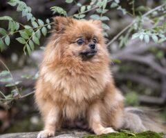 Pomerania marrón