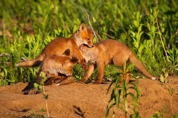 zorros rojos jugando