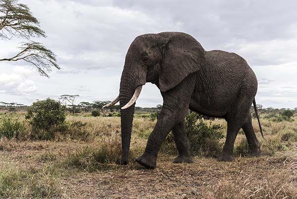 Los animales más peligros del mundo - Top 7: Elefante Africano