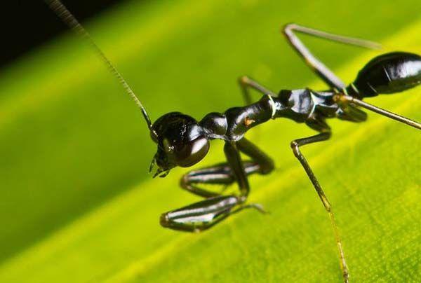 mantis hormiga asiática