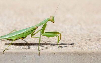 La mantis religiosa: Curiosidades y cosas que no sabias