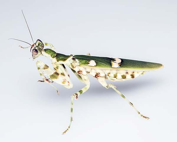 Mantis religiosa flor de la india