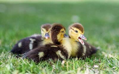 Tener un pato como mascota ¿Cómo cuidarlo?